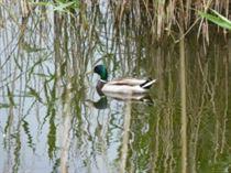 c6 Mallard male heart of reeds