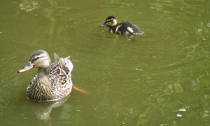 c8 female Mallard and chick winterbourne