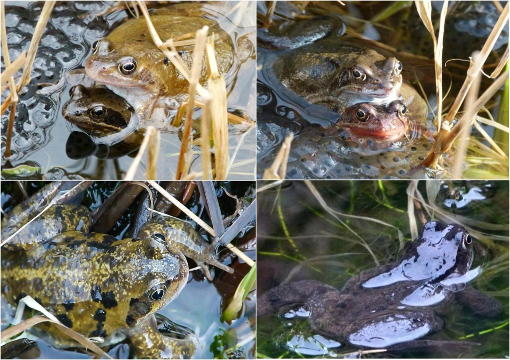 d3 Common frog colour varieties