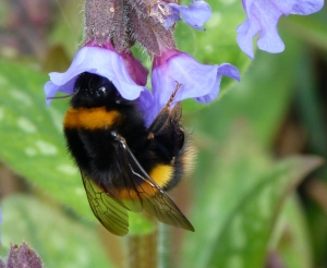 f3 Queen buff tailed bumble bee