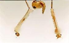 Pupae and larvae