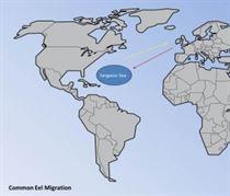g.6 Eel migration