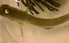 k.6 fish louse