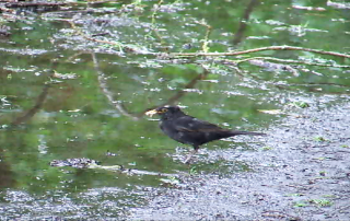 blackbird puddle