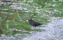 blackbird puddle