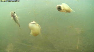 snails and stickleback