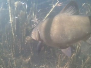 Tench feeding