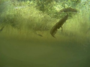 Smooth newt courtship