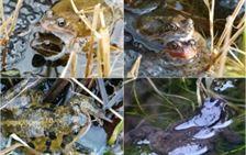 d3 Common frog colour varieties