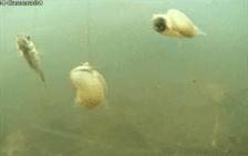 snails and stickleback