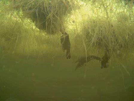 Newt courtship