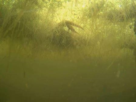 Palmate newt courtship